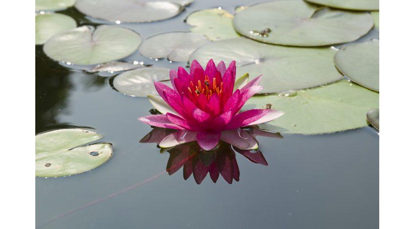 Фотообои Цветок лотоса