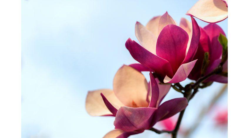 Фотообои Розовые цветы магнолии на фоне голубого неба